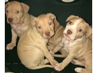 Beautiful bully puppies males females American bulldog