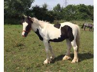 13hh Cob Filly / Pony