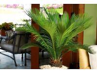 King sago palm tree