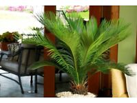 King sago palm tree