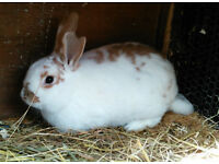 Baby rabbits for sale - 2 left