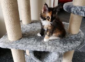 Stunning Maine Coon Kitten
