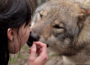 Professional wolf and wolf hybrid dog training. All % accepted.