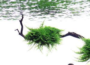 Aquascaping Plants / Christmas Moss