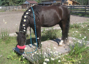 Section A Welsh Pony Gelding