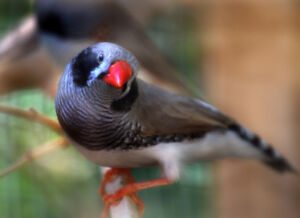 BLACK CHEEK  zebra finches-3 to 6 months old