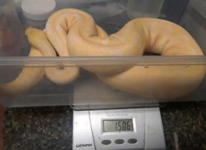 Male albino woma ball python