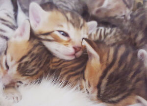 Exotic Pure Bred Bengal Kittens