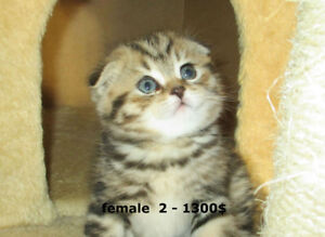 Purebred Scottish Fold and straight ears
