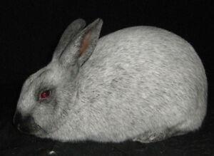 Plusieurs lapins de race pure et de chair