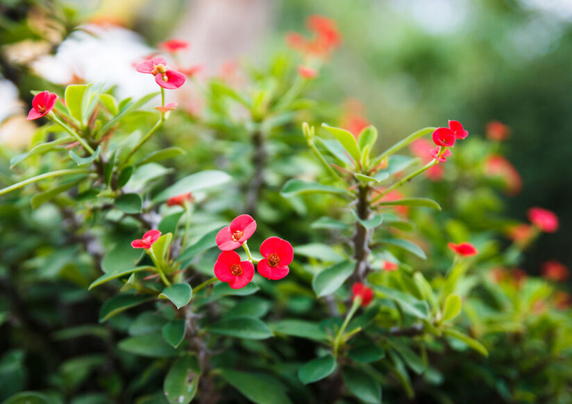 What is the crown of thorns plant ebay for Crown of thorns plant