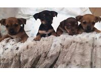 4 Beautiful, Friendly Tiny Pups Jackhuahua Jack Chi Puppies Ready to Find a Home - 3 Females Left