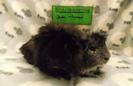Adopt Guinea Pigs at The Cavy Cottage