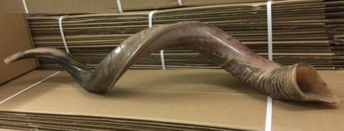 Yemenite Kudu Horn Jewish Shofar Half Polished Natural 40 - 42 Inch XXL + Bag
