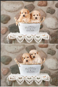 Beautiful BICHON POODLE Puppies FOR SALE in Ontario!
