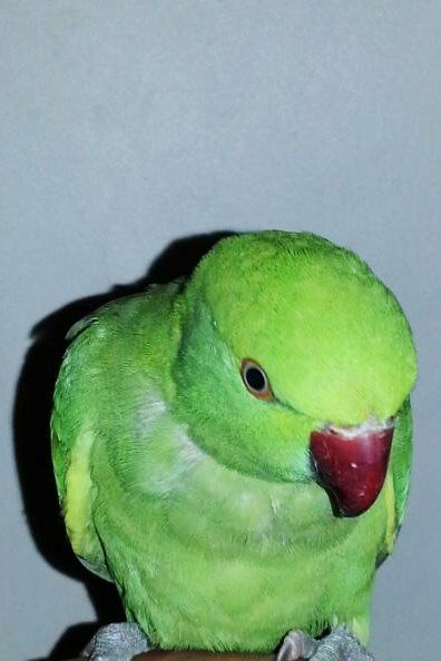 Indian Green Parrot Baby Green baby Indi...