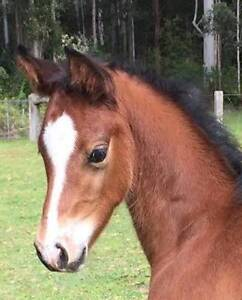 Warmblood/Arabian colt Wootton Great Lakes Area Preview