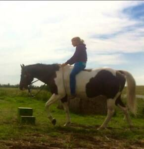 Black tobiano APHA gelding - Big and broke to ride!