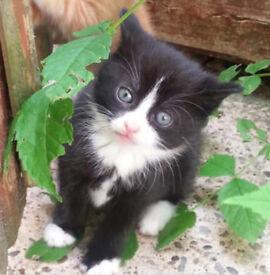 """Fluffy Black & White male kitten - """"Cats like Felix"""" pattern"""