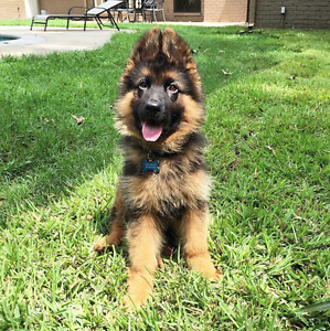 Wanted: German Shepherd Puppy
