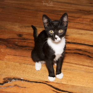 AK2965 : Madoc - KITTEN for ADOPTION - Vet Work Included