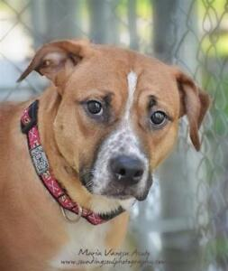 "Young Female Dog - Pit Bull Terrier: ""Tasha"""