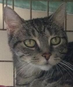 "Senior Female Cat - Tabby - Brown: ""Addison"""