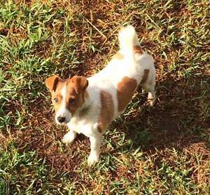 FREE Purebred 7yo Female Jack Russell to good home Woombye Maroochydore Area Preview