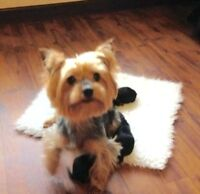 Teacup Yorkshire Terrier pups-Ready Now!See my pics