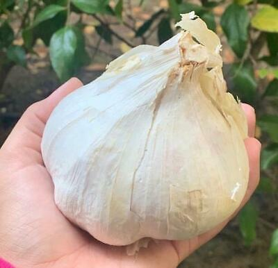 Organic Seeds: Elephant Garlic 2 Huge bulbs Fresh for Planting Eating and Cookin