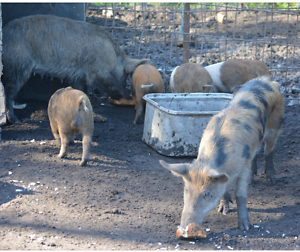 Piglets for sale Calga Gosford Area Preview