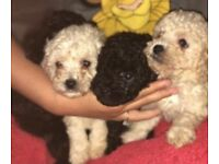 Toy poodle boys