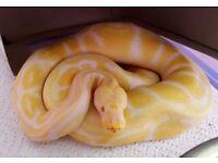 Albino Pastel Python & Full Set Up