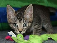 Devon Rex cross kitten