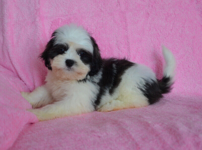 Bichon Shih Tzu Puppies 1200 Dogs Puppies For Rehoming