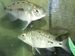 African Cichlids for Rehoming