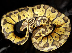SERPENT PYTHON ROYAL SUPER PASTEL 100%/ HET-GHOST/ 50% HET-PIED