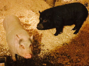 Male and Female Pair of Miniature pot belly pigs!