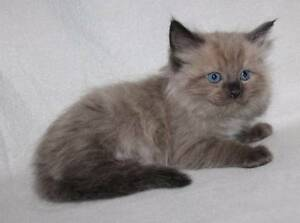 Purbred registered mink ragdoll kittens Lithgow Lithgow Area Preview