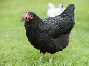 Une Poule Noire Pondeuse