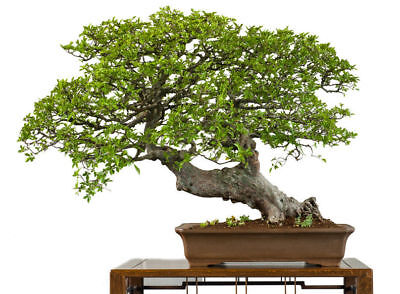die ULME eine wunderbarer Miniaturbaum, auch Bonsai genannt - Winterhart