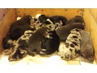 Shepoĺlie puppies