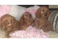 Golden English Cocker Spaniel Puppies.