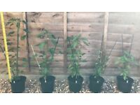 🌶🌶🌶 Hot Mexican chilli plants - Serrano Tempiqueno - 1ft to 2ft in height, in 2 litre pots