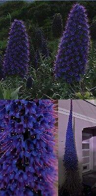 Blauer Natternkopf Samen / Dekoidee Pflanzen für dunkle Standorte das Bad WC Klo
