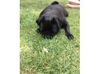 Black female pug