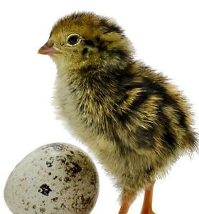 Looking for fertilized quail eggs, in Prince Albert area