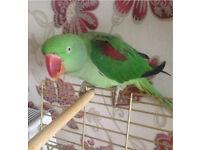 Talking alexandrine parrot