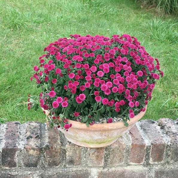 Auch Chrysanthemen sind winterhart, sie sollten jedoch abgedeckt werden und dürfen nicht austrocknen. (Foto: Feiler)