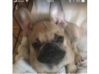 beautiful French sable bulldog pup